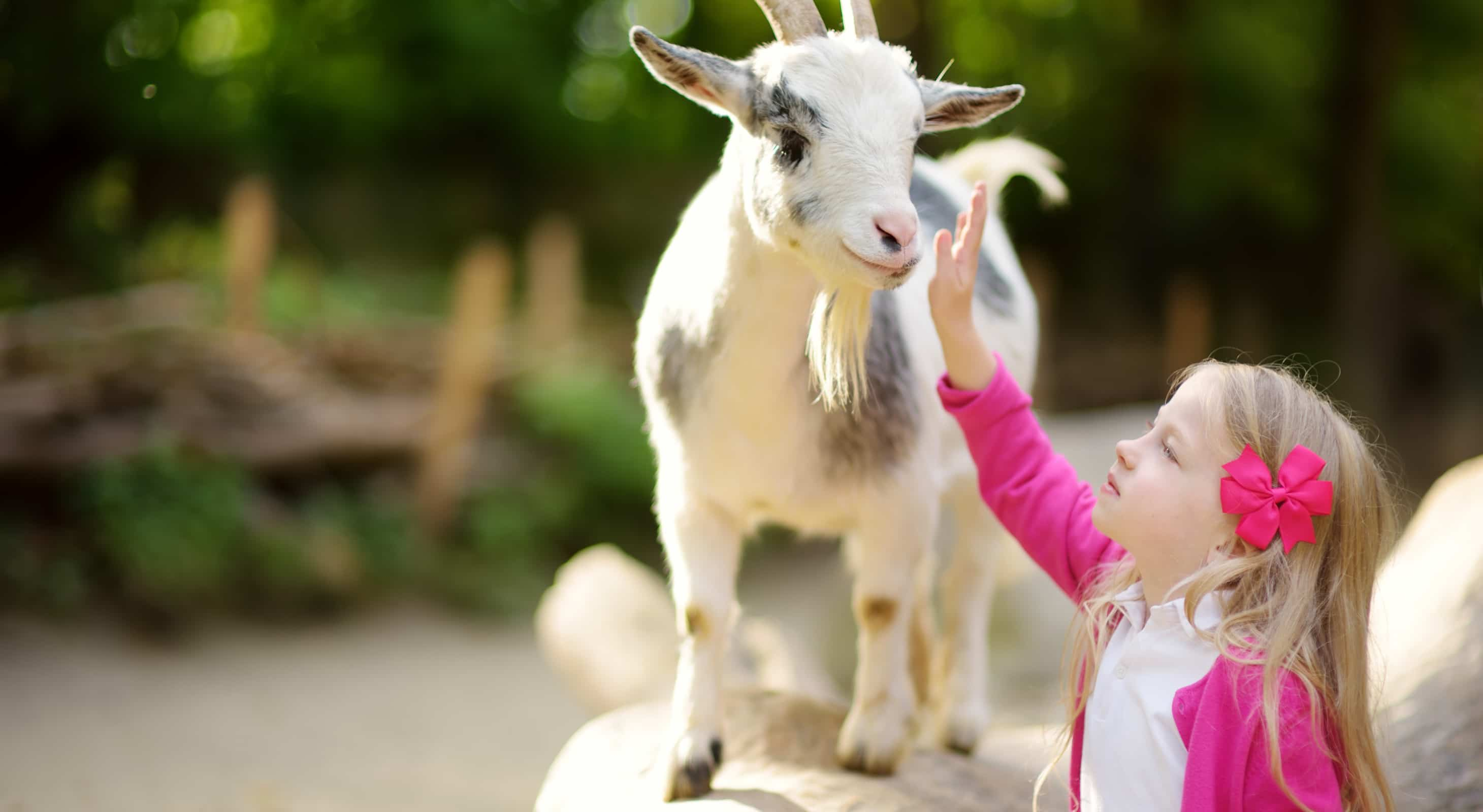 A little girl petting a small goat