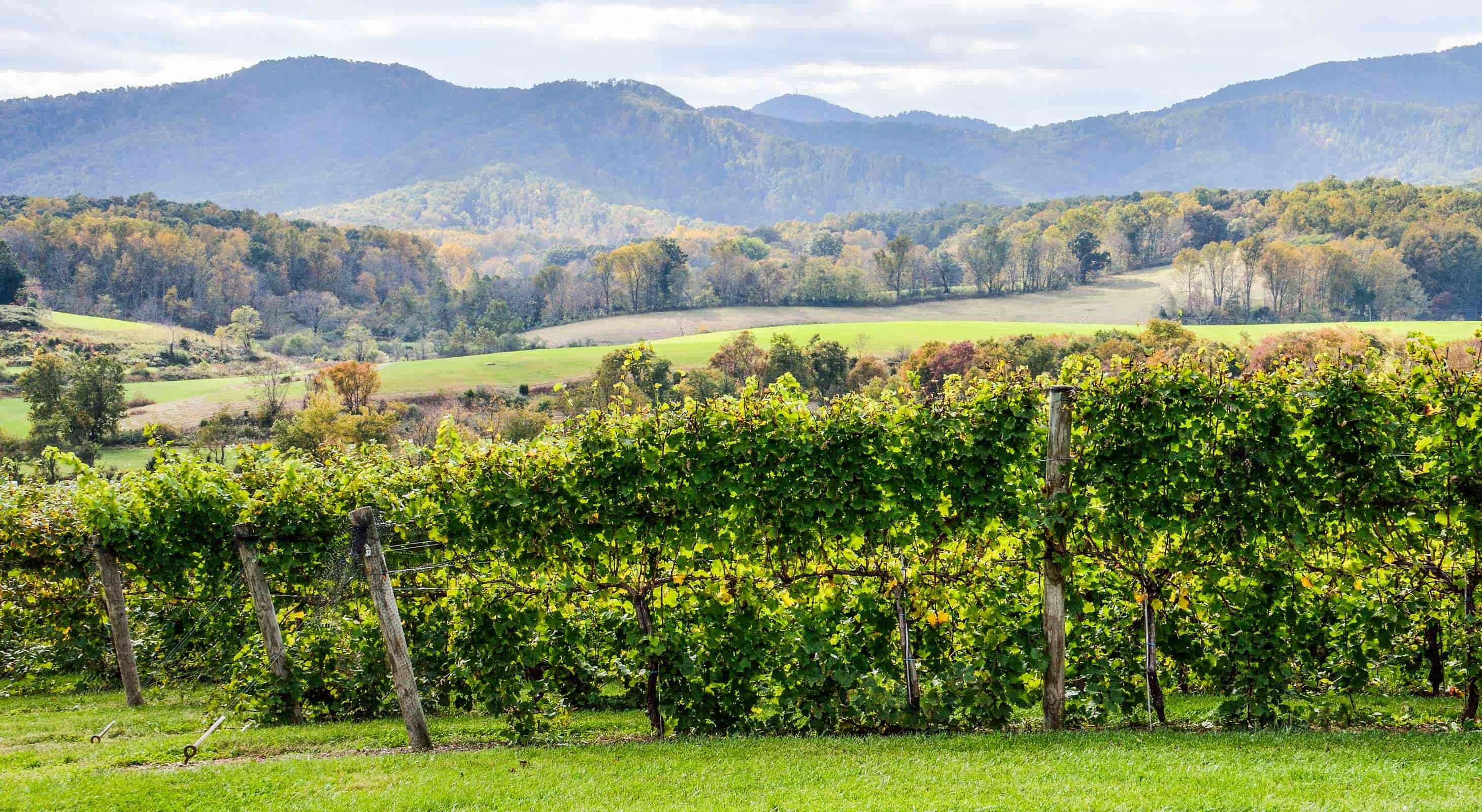 A vineyard in Charlottesville Virginia