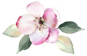Pink magnolia watercolor